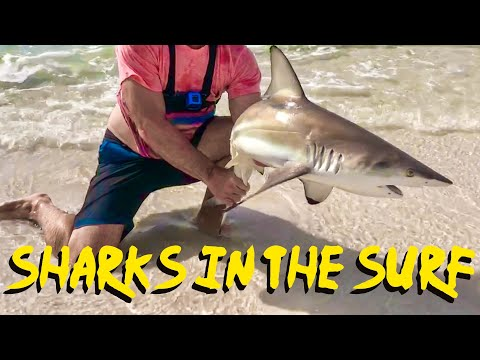 Surf Fishing Destin Florida - How To Catch Sharks With Live Bait