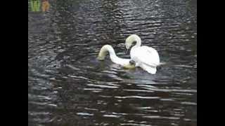 Mute Swans (Cygnus olor) Mating Ritual