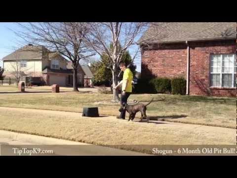 Shogun - 6 Month Pit Bull - Tulsa Dog Training