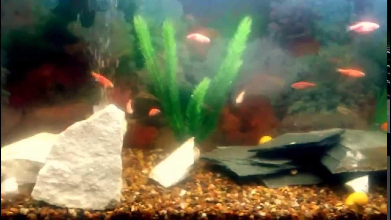 Mi acuario con peces tropicales de agua dulce youtube for Temperatura para peces tropicales acuario