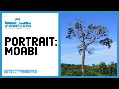 """Portrait de plantes - Baillonella Toxisperma """"Moabi"""", le plus grand arbre d'Afrique"""
