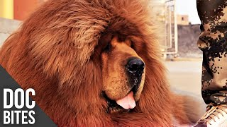 Tibetan Mastiff  The World's  Most Expensive Dog | Did You Know? | Doc Bites