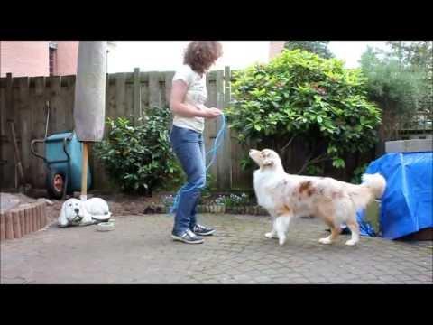 Australian shepherd jumps rope