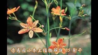 赤馬國小本土植物解說  5射干(閩)