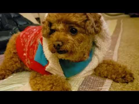 Radish eating dog, Toy Poodle, Louis - 루이의 무우 먹방!
