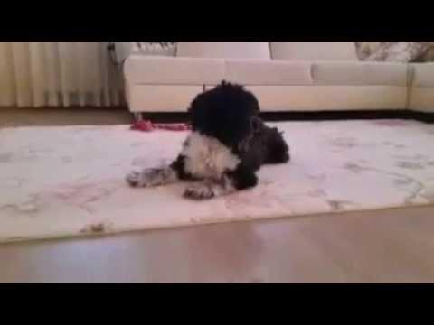 cute pupy black maltese compilations