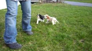 Pa Cavalier King Charles Spaniel Puppies
