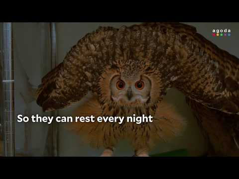 What to Do in Osaka: Snuggle an Owl