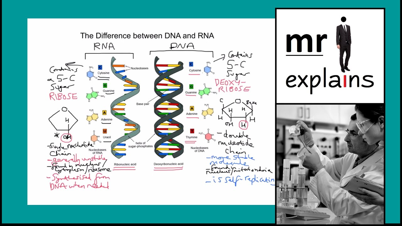 the difference between dna and rna The dna molecule is made up of subunits that contain sugar and phosphate group in addition to this, there are four nitrogenous bases that allow for the molecule to be arranged in a manner by which a code is formed.