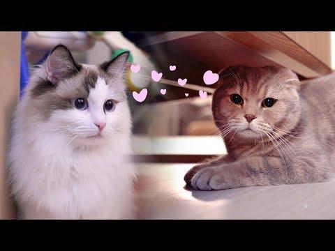 고양이 이즈의 귀여운 짝사랑