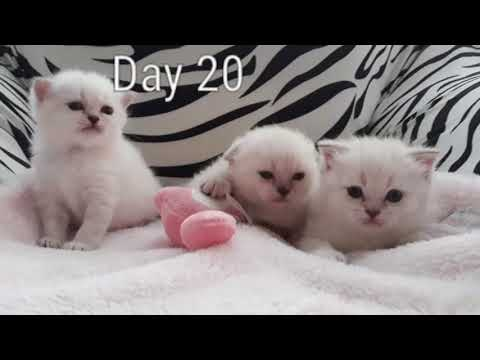 The most satisfying 1 month slide show color point scottish fold kittens development