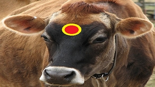 Cow Videos for Children Indian Cows Sounds Sound for Kids Toddlers Babies Baby Child Mooing Moo Loud