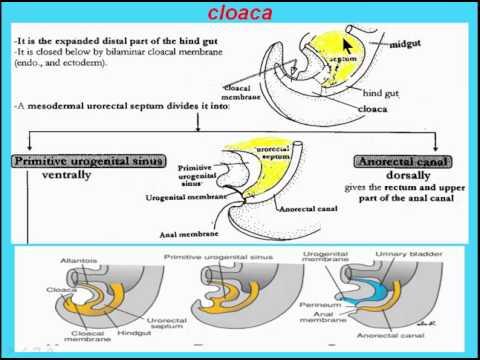 (Digestive system) 13  cloaca 1