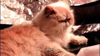 4 you  funniest Persian cat videos
