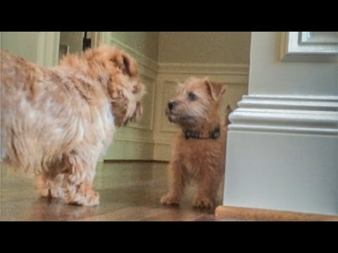 Norfolk Terrier Puppy Ernie Stands His Ground