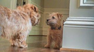 Norfolk Terrier Puppy Ernie Stands His Ground