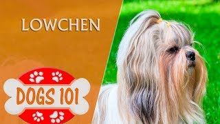 Dogs 101  LOWCHEN  Top Dog Facts About the LOWCHEN