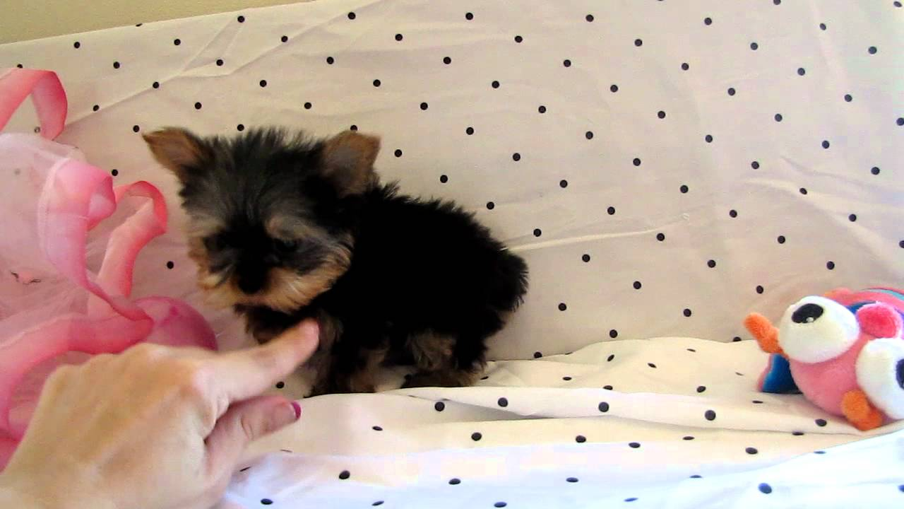Baby Sasha Teacup Yorkie Puppy For Sale At Boutique Teacup Puppies