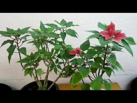 ПУАНСЕТТИЯ  растение дома что же дальше