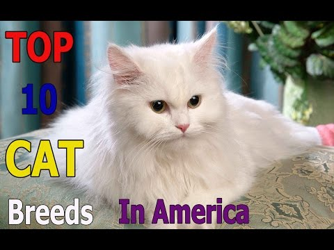Top 10 animals: Top 10 cat breeds in America