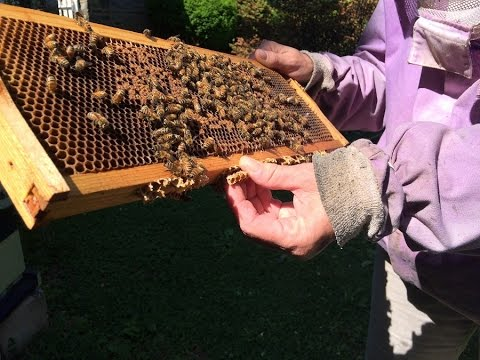 Why urban beekeeping is a rising trend in major cities