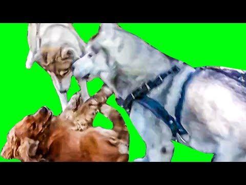МЫ СОЖРАЛИ СПАНИЕЛЯ!! 😱 (Хаски Бублик) Говорящая собака Mister Booble