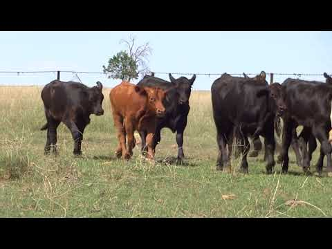 Cameo Cattle Co - Auctions Plus FRI 16.03.18 - Weaned Mixed Sex (V1)
