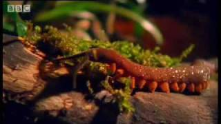 Archer Fish Water Pistol - Weird Nature - BBC wildlife