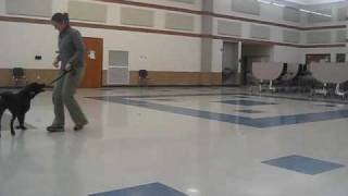 Obedience/rally: Training Heel: Backwards Walking