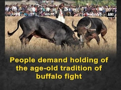 People demand holding of the age-old tradition of buffalo fight - ANI #News