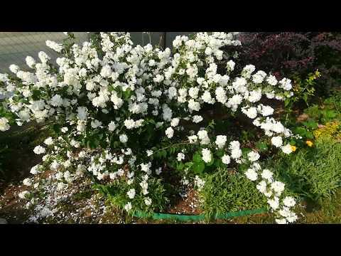 21 июня, цветёт махровый жасмин (или чубушник)