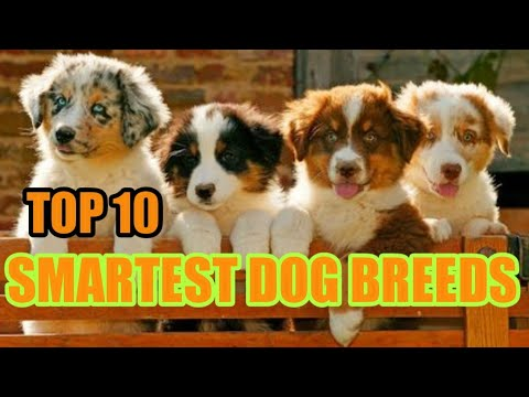 top-10-smartest-dog-breeds