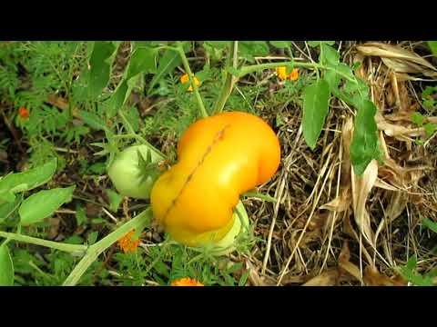 САЖАТЬ НЕ БУДУ ЭТИ ТОМАТЫ. | выращивание | растениями | растения | томатов | садовые | рассады | посадка | томаты | сажаем | цветы