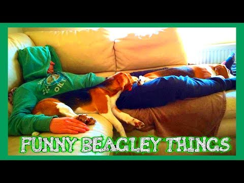 Funny BEAGLE Compilation! Why You Should Get A Beagle Dog. Episode #1