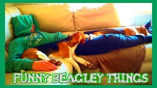 "Funny ""beagley"" Things! Why You Should Get A Beagle Dog. Episode #1"