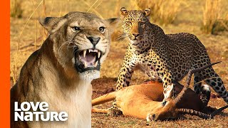 Lion steals leopard's meal | Love Nature