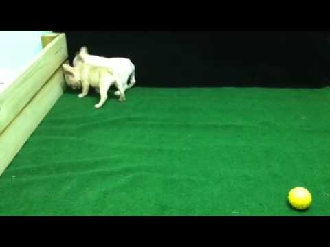French Bulldog Puppies For Sale - Corbin, KY - Male - Larzs and Hans Video  2 MOV