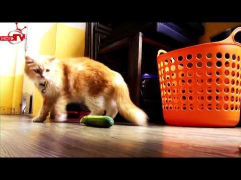 Giải đáp về hiện tượng mèo sợ dưa leo lan truyền trên mạng.
