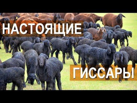 видео: Гиссарские овцы племенного кооператива