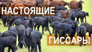 Гиссарские овцы племенного кооператива 'Дилшод Б'
