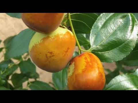 Organic Citrus & Exotic Fruit farm on Salt Spring Island