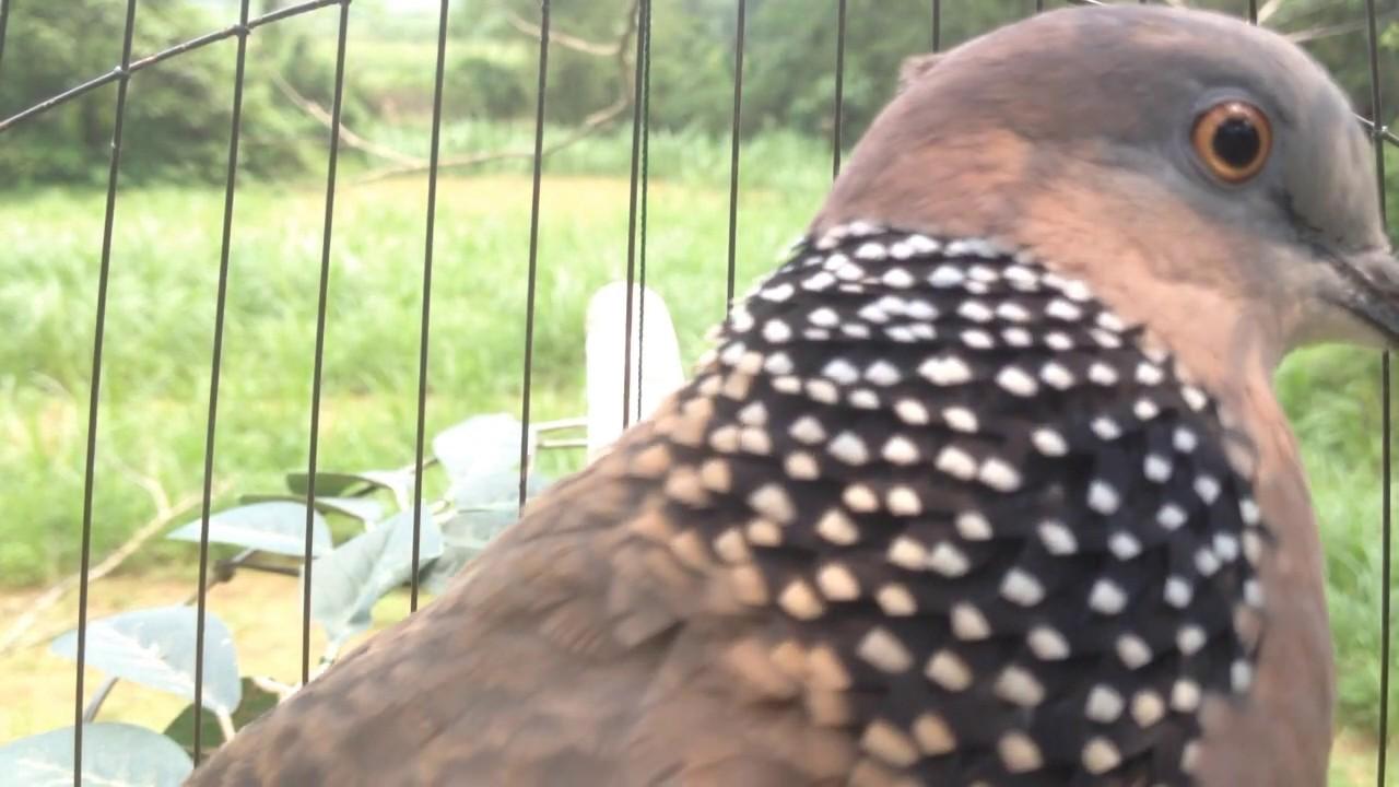 tiếng chim cu gáy thúc bổi âm thanh cực chuẩn