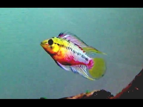 Awesome Beginner Fish - Apistogramma Hongsloi
