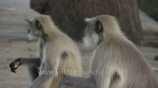 Langurs eat daintily at Mandore in Jodhpur - far nicer than macaques