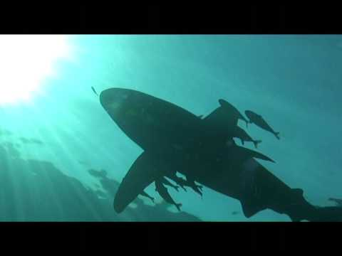 Requin longimanus sur Abili Ali Mer rouge Egypte