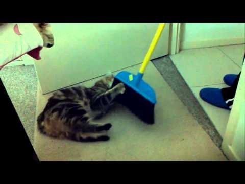 Crazy manx cat attacks the broom