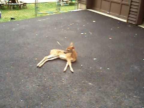 Rabid Deer
