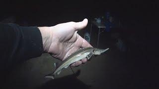 Стерлядка на фидер .Ока , рыбалка на реке Ока . .