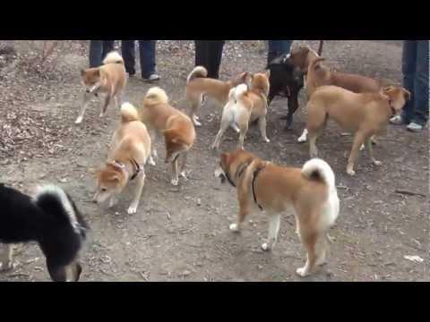 Pack of Shiba inus