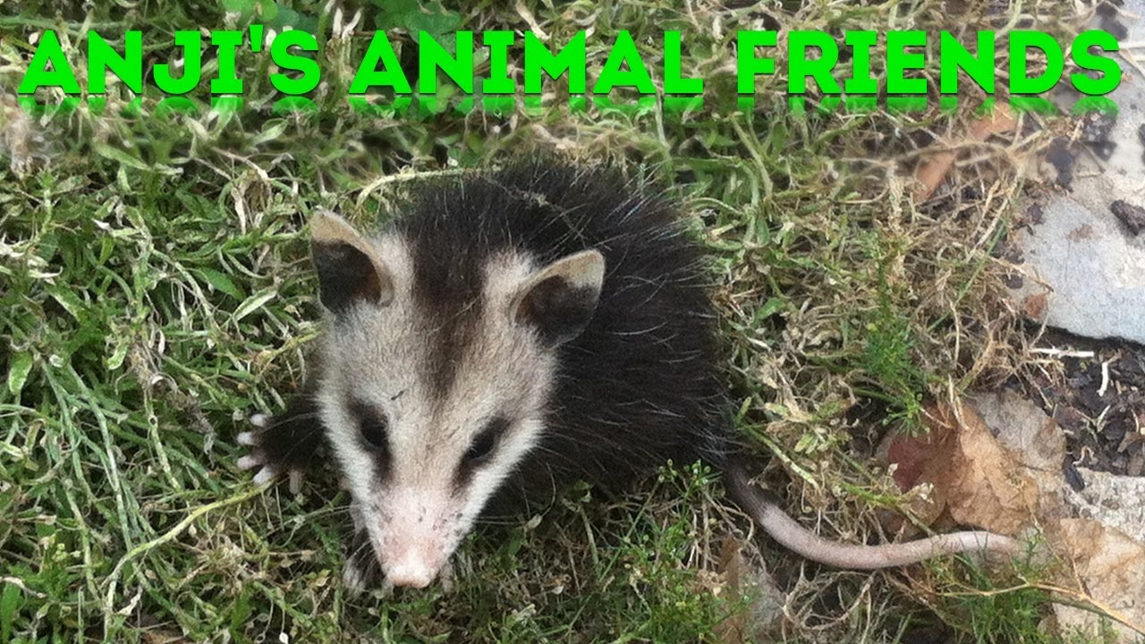 Anji's Animals Friends #3: Baby Opossums!